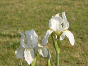 Rizoma de Iris germánica