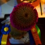 Cucarda Tricolor y Cucarda a la Excelencia en Horticultura-Mamilaria: Cultivadora Nora B. de Zanettini